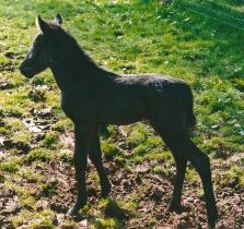 Appaloosia foal