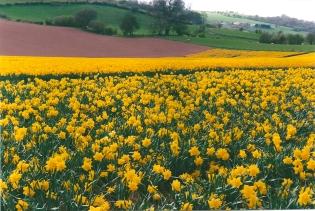 Duffryn Daffodils 1999