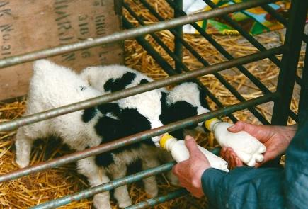 Feed Jac Lambs